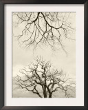 Looking Up at Branches of Dead Wych Elm Trees Killed by Dutch Elm Disease, Scotland, UK Print by Niall Benvie