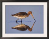 Black-Tailed Godwit Adult in Breeding Plumage, Feeding, Lake Neusiedl, Austria Prints by Rolf Nussbaumer