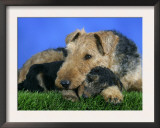 Domestic Dog, Welsh Terrier with Puppy, 7 Weeks Prints by Petra Wegner