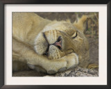 Sleeping African Lioness, South Luangwa, Zambia Prints by T.j. Rich