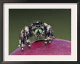 Daring Jumping Spider Adult on Fruit of Texas Prickly Pear Cactus Rio Grande Valley, Texas, USA Prints by Rolf Nussbaumer