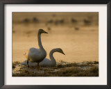 Two Whooper Swans, Hornborgasjon Lake, Sweden Prints by Inaki Relanzon