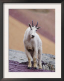 Mountain Goat Adult in Summer Coat, Glacier National Park, Montana, USA Posters by Rolf Nussbaumer