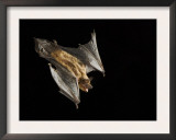 Evening Bat Flying at Night, Rio Grande Valley, Texas, USA Prints by Rolf Nussbaumer