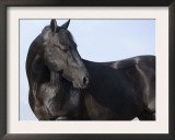 Black Quarter Horse Stallion, Longmont, Colorado, USA Art by Carol Walker