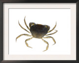 Common Shore Crab Posters by Niall Benvie