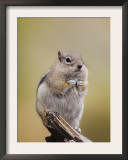 Golden-Mantled Ground Squirrel Rocky Mountain National Park, Colorado, USA Prints by Rolf Nussbaumer