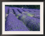 Field of Lavander Flowers Ready for Harvest, Sault, Provence, France, June 2004 Poster by Inaki Relanzon