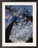 Looking Up at Baobabs on Baobabs Avenue, Morondava, West Madagascar Poster by Inaki Relanzon