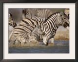 Common Zebra Wading at Waterhole Etosha Np, Namibia, 2006 Posters by Tony Heald