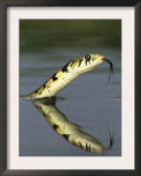 Checkered Garter Snake Adult Swimming, Rio Grande Valley, Texas, USA Prints by Rolf Nussbaumer