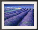 Field of Lavander Flowers Ready for Harvest, Sault, Provence, France, June 2004 Art by Inaki Relanzon