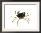 Common Shore Crab Scotland, UK Prints by Niall Benvie