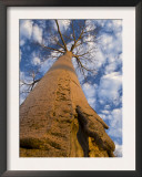 Looking Up at Baobab on Baobabs Avenue, Morondava, West Madagascar Print by Inaki Relanzon