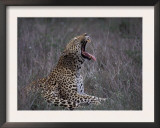 Male Leopard Yawning Kruger Np, South Africa Posters by Tony Heald