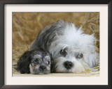 Domestic Dog, Dandie Dinmont Terrier with Puppy, 6 Weeks Poster by Petra Wegner