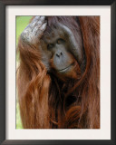 Male Orang-Utan with Head on Hand. Native to Borneo. Captive, France Posters by Eric Baccega