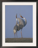 Sarus Cranes Pair Displaying, Unison Call, Keoladeo Ghana Np, Bharatpur, Rajasthan, India Posters by Jean-pierre Zwaenepoel