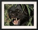 Melanistic (Black Form) Leopard Snarling, Often Called Black Panther Art by Lynn M. Stone