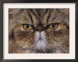 Persian Cat Brown Tabby Face Portrait, Texas, USA Posters by Rolf Nussbaumer