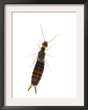Common Earwig Female, Scotland, UK Prints by Niall Benvie