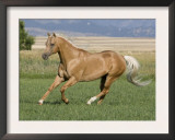 Palomino Stallion Running in Field, Longmont, Colorado, USA Prints by Carol Walker