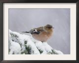 Common Chaffinch Adult on Spruce Branch in Snow, Switzerland, December Prints by Rolf Nussbaumer