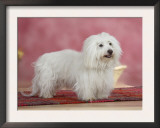 Coton De Tulear Dog Standing on Rug Poster by Petra Wegner