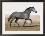 Grey Andalusian Mare Trotting in Arena Yard, Osuna, Spain Prints by Carol Walker