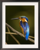 Madagascar Kingfisher on Branch Near Morondava, West Madagascar Prints by Inaki Relanzon