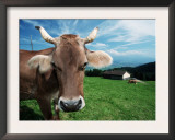Domestic Cow on Alpine Pasture, Switzerland Prints by De Meester