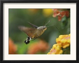 Hummingbird Hawk-Moth Adult in Flight Drinking Nectar from Lantana Flower, Switzerland Prints by Rolf Nussbaumer