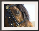 Bay Welsh Cobb Stallion, Close Up of Eye, Ojai, California, USA Prints by Carol Walker
