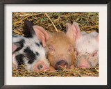 Piglets Sleeping, USA Print by Lynn M. Stone