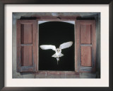 Barn Owl Flying into Building Through Window Carrying Mouse Prey, Girona, Spain Prints by Inaki Relanzon