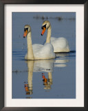 Two Mute Swans, Hornborgasjon Lake, Sweden Prints by Inaki Relanzon