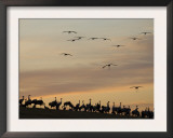 Common Cranes at Sunset, Some on Ground, with Others Landing, Hornborgasjon Lake, Sweden Posters by Inaki Relanzon