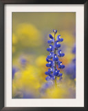 Texas Bluebonnet in Field of Wildflowers, Gonzales County, Texas Prints by Rolf Nussbaumer