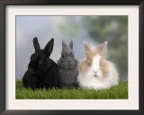 Two Dwarf Rabbits and a Lion-Maned Dwarf Rabbit Print by Petra Wegner