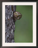 Ferruginous Pygmy Owl Adult Peering Out of Nest Hole, Rio Grande Valley, Texas, USA Print by Rolf Nussbaumer