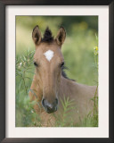 Wild Horse Mustang, Dun Filly Lying Down, Pryor Mountains, Montana, USA Posters by Carol Walker
