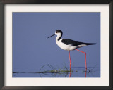Black-Winged Stilt Adult Wading, Lake Neusiedl, Austria Posters by Rolf Nussbaumer