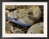 Mottled Rock Rattlesnake Close-Up of Head. Arizona, USA Posters by Philippe Clement