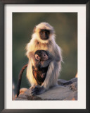 Hanuman Langur Adult Caring for Young, Thar Desert, Rajasthan, India Art by Jean-pierre Zwaenepoel