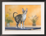 Cornish Rex Cat, Bicolor Blue-Tortie Prints by Petra Wegner