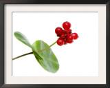 Honeysuckle Berries, Scotland, UK Art by Niall Benvie