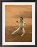 Verreaux&#39;s Sifaka &#39;Dancing&#39;, Berenty Private Reserve, South Madagascar Prints by Inaki Relanzon