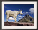 Mountain Goat Adult Shedding Winter Coat, Mount Reynolds, Glacier National Park, Montana, USA Prints by Rolf Nussbaumer