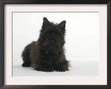 Black Cairn Terrier Lying Down with Head Up Prints by Petra Wegner