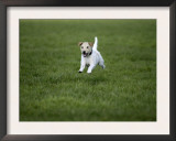 Parson Russell Terrier Running in Field Art by Petra Wegner